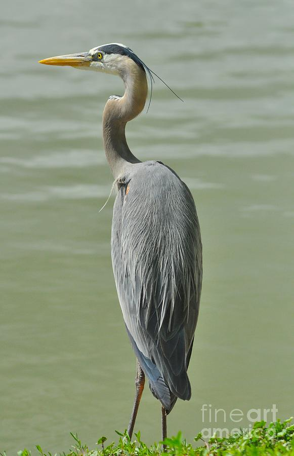 Great Blue Heron Photograph - Great Blue Heron by Merrimon Crawford