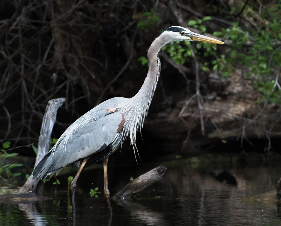 Great Blue Heron by Michael Hall