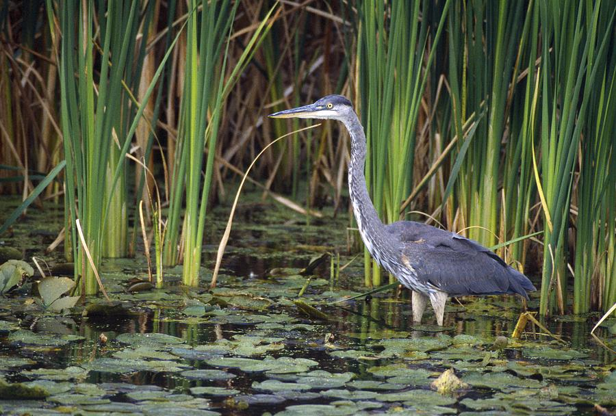 Outdoors Photograph - Great Blue Heron by Natural Selection David Spier