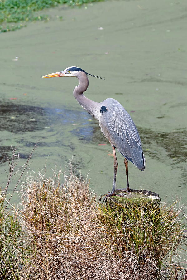 Bird Photograph - Great Blue Heron Near Pond by Daniel Caracappa