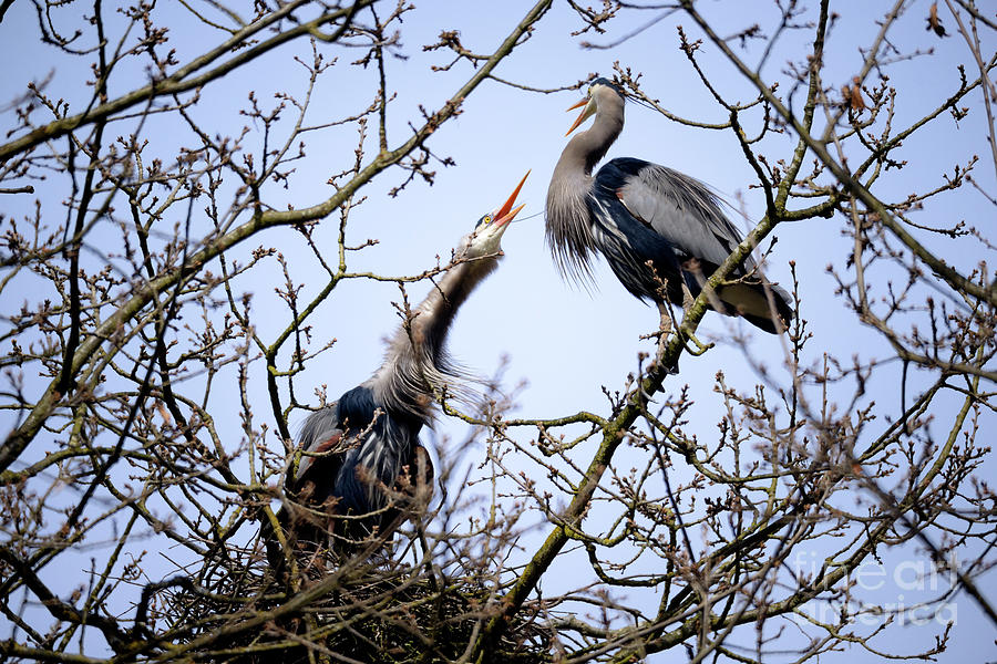 Great Blue Heron Nesting 2017 - 8 Photograph