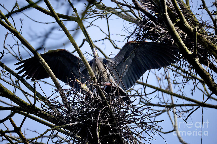 Great Blue Heron Nesting 2017 - 9 Photograph