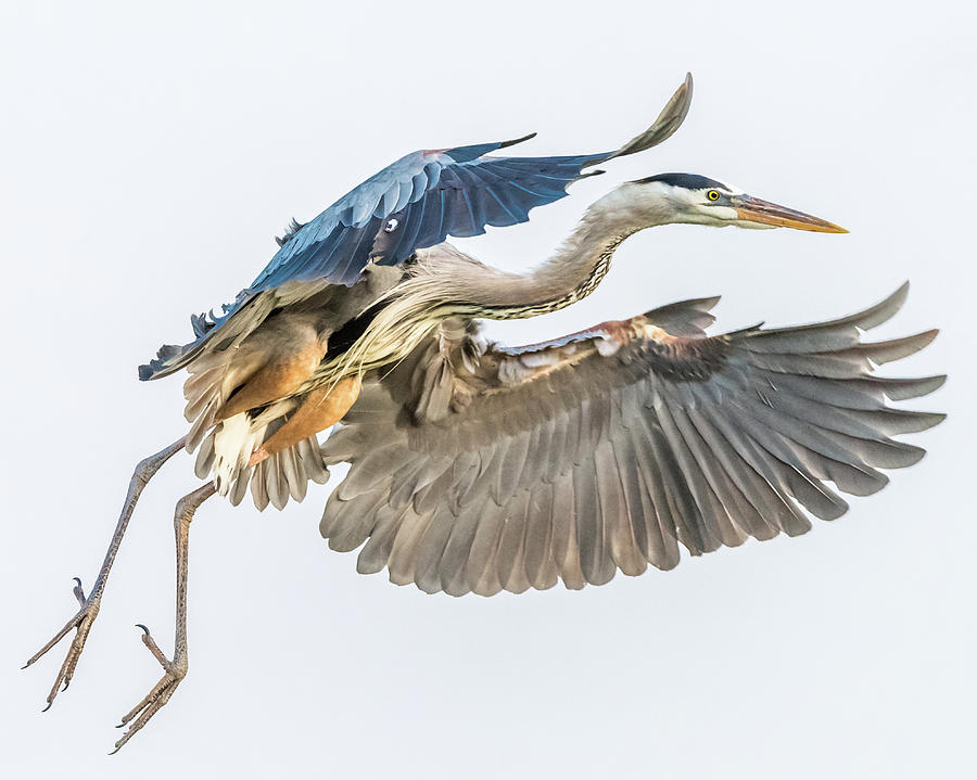 Bif Photograph - Great Blue Heron on approach by Don Miller