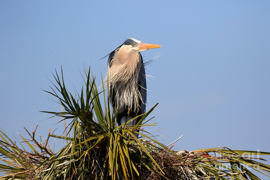Great Blue Heron Photograph - Great Blue Heron On Nest In A Palm Tree by Louise Heusinkveld