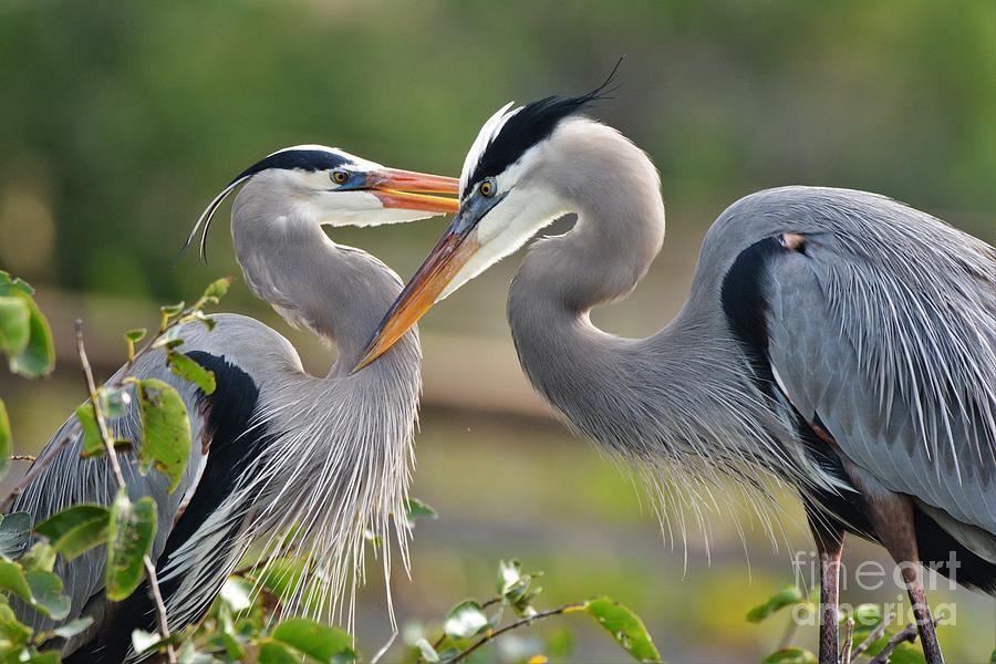 Great Blue Herons Photograph - Great Blue Heron Pair 3 by Julie Adair