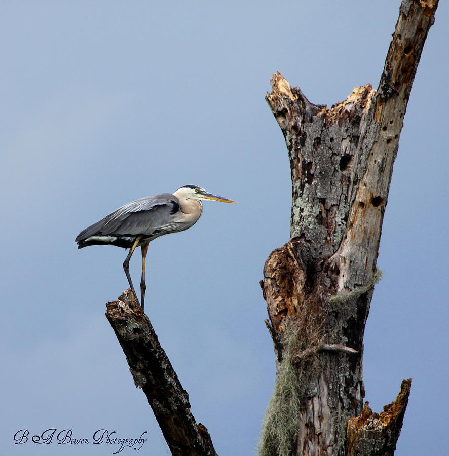 Great Blue Heron Photograph - Great Blue Heron Perched by Barbara Bowen