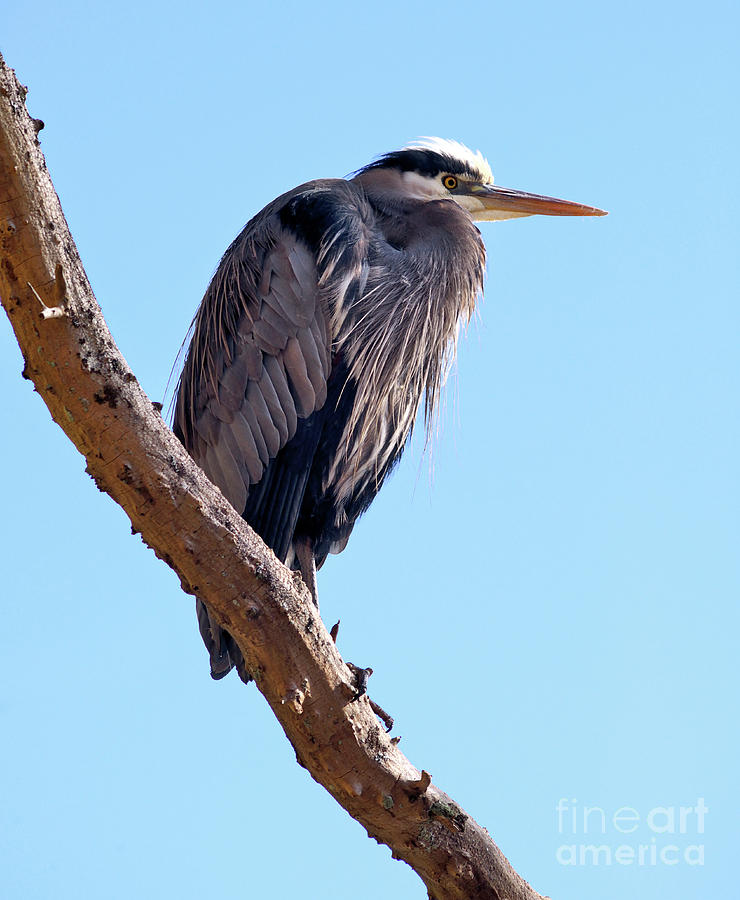 Great Blue Heron Photograph - Great Blue Heron Perched On Tree Branch by Terry Elniski