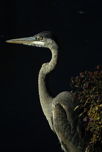 Bird Photograph - Great Blue Heron by Raju Alagawadi