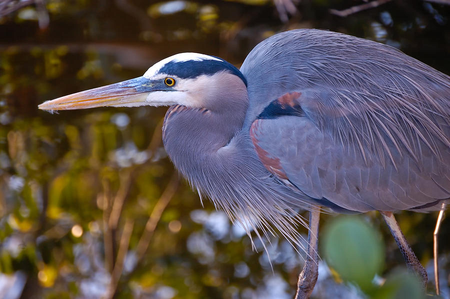 Heron Photograph - Great Blue Heron by Rich Leighton