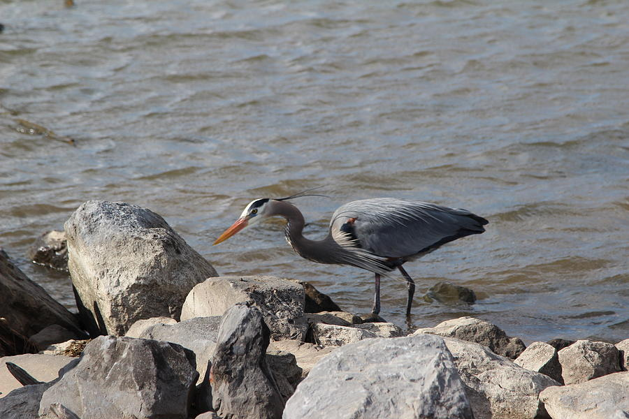 Great Blue Heron Photograph - Great Blue Heron  by Robert Smith