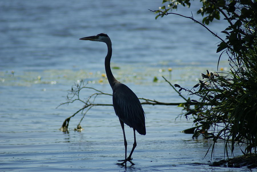Heron Photograph - Great Blue Heron by Ron Read