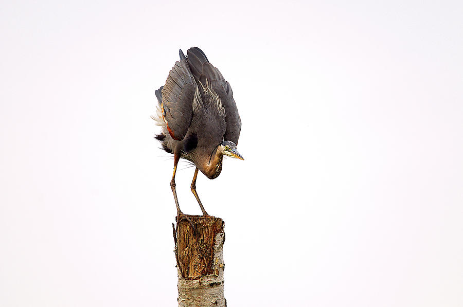 Great Blue Heron Yoga Pose by Sharon Talson