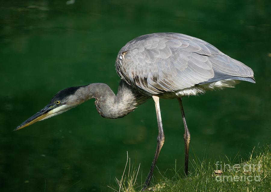 Great Blue Heron series by Tom Brickhouse