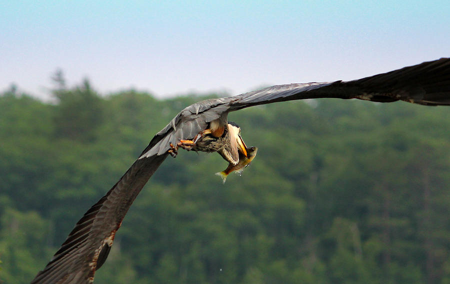 Great Blue Heron Photograph - Great Blue Heron Spears Fish by Brook Burling