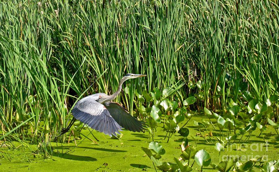 Great Blue Heron Takes Flight Photograph