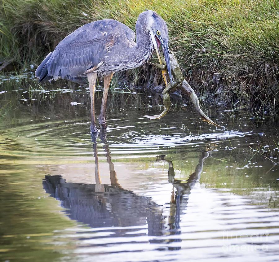 Bird Photograph - Great Blue Heron Vs Huge Frog by Ricky L Jones