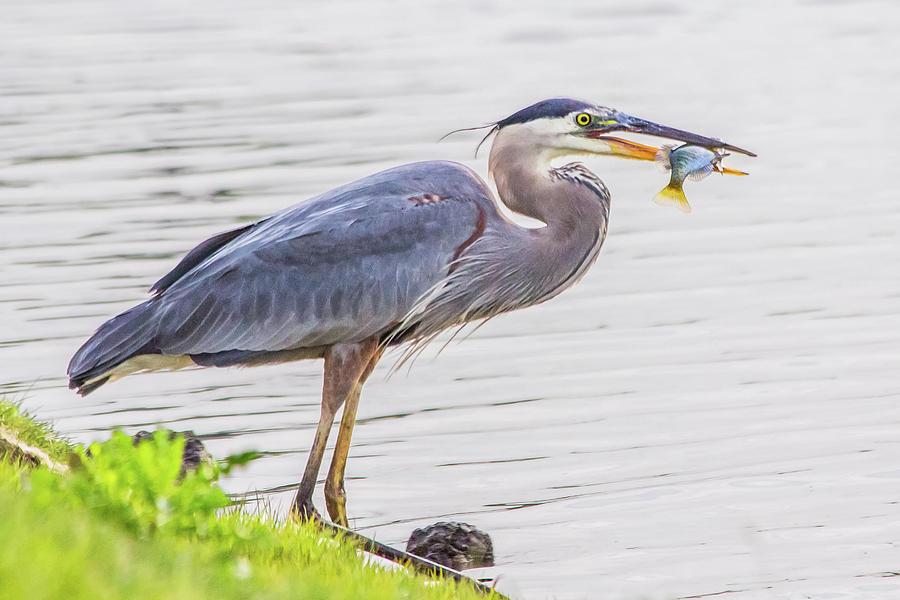 Great Blue Heron w/fish by Kenneth F Konjevich