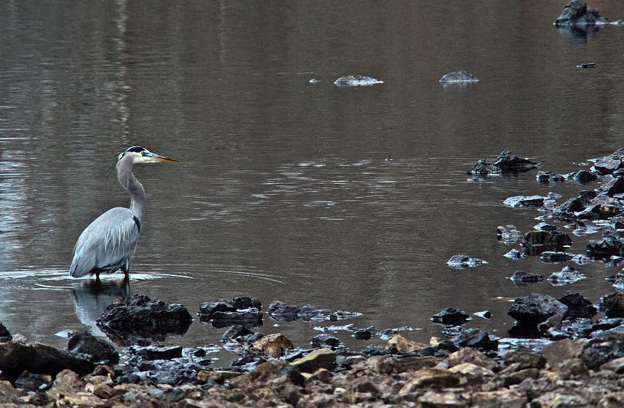Great Photograph - Great Blue Heron Wading 1 by Douglas Barnett