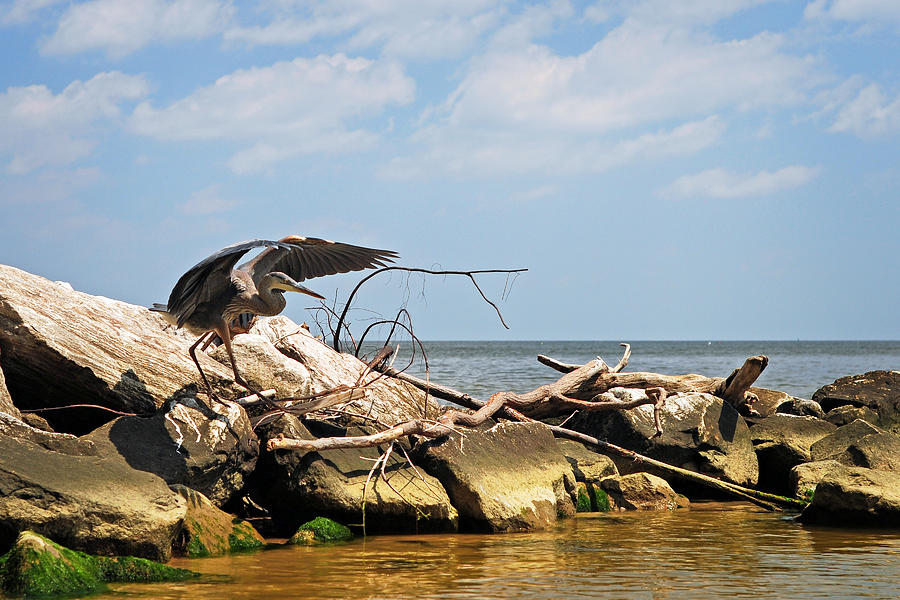 Great Blue Heron Wings Outstretched by Rebecca Sherman