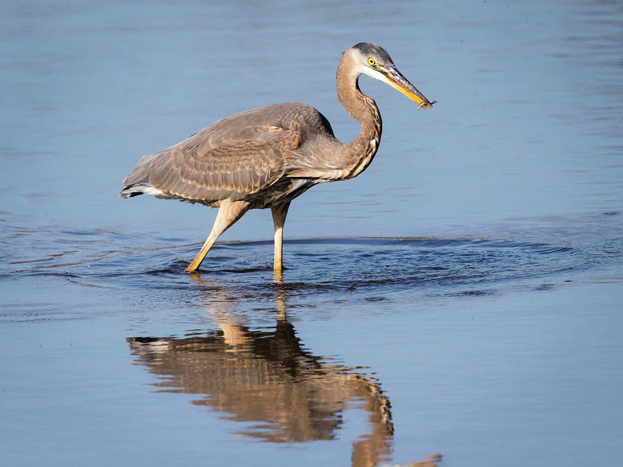 Great Blue Heron with a Small Meal by Ricky L Jones