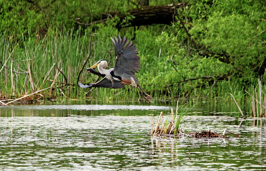 Great Blue Heron With Catfish by Debbie Oppermann
