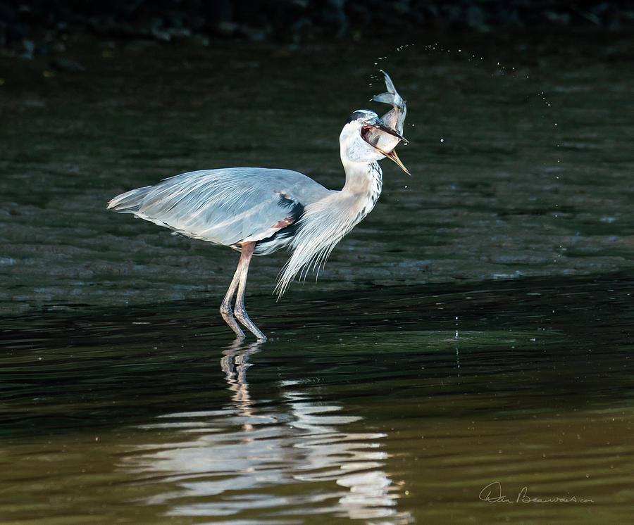 Great Blue Heron With Fish 3446 Photograph