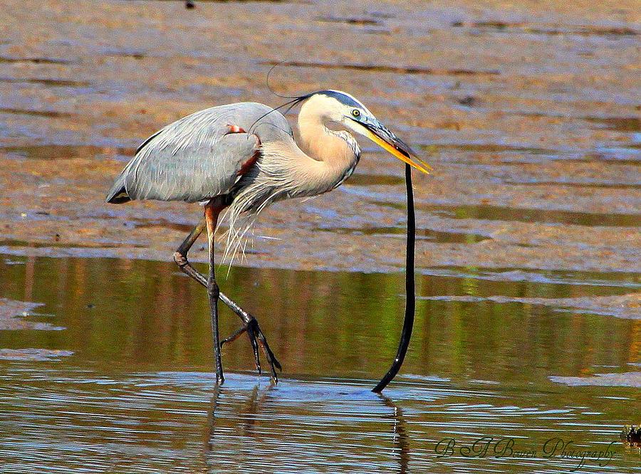 Great Blue Heron Photograph - Great Blue Heron Wrestles A Snake by Barbara Bowen