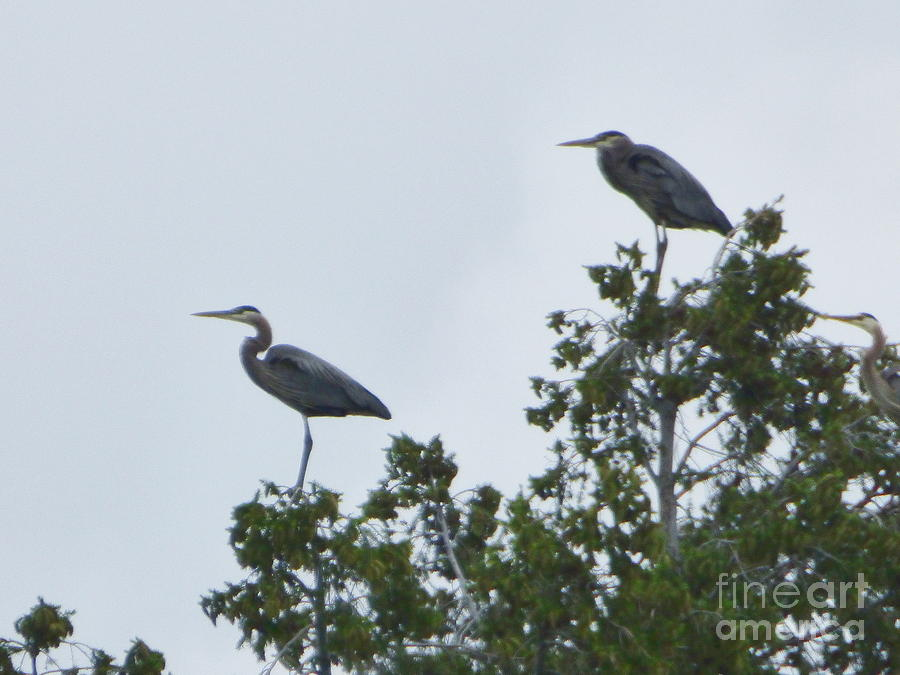 Great Blue Herons by Charles Robinson