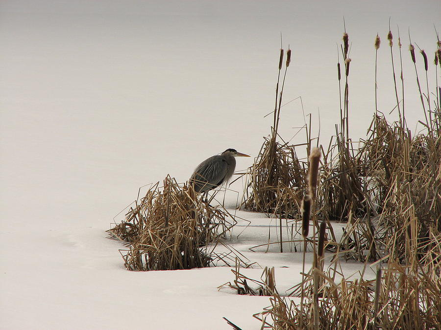 Blue Heron Photograph - Great Blue In White by Athena Ellis