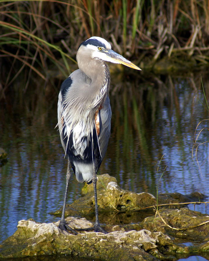Great Blue Heron Photograph - Great Blue by Marty Koch