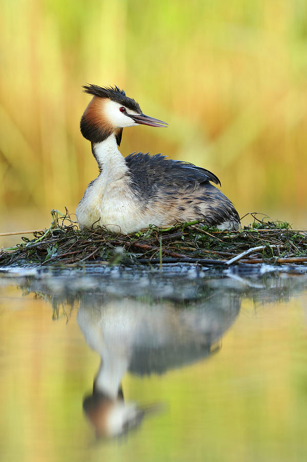 Great Creasted Grebe on Nest by Jasper Doest