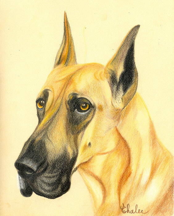 Colored Drawing - Great Dane by Elena Malec