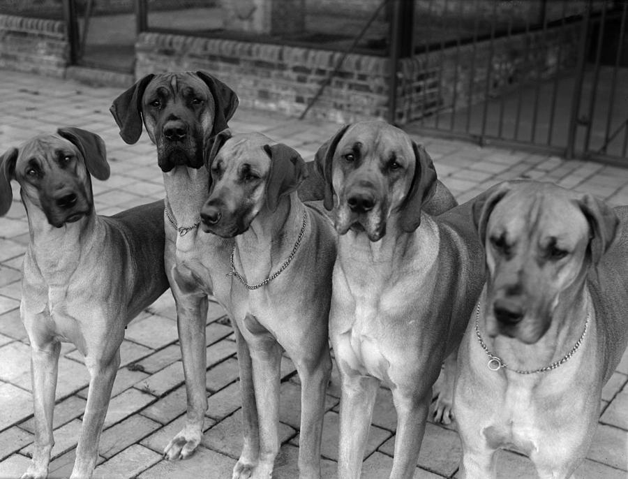 Horizontal Photograph - Great Danes by Fox Photos