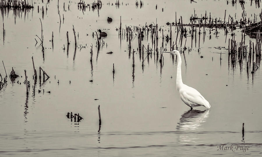 Wisconsin Photograph - Great Egret At Horicon - B - W  by Mark Fuge