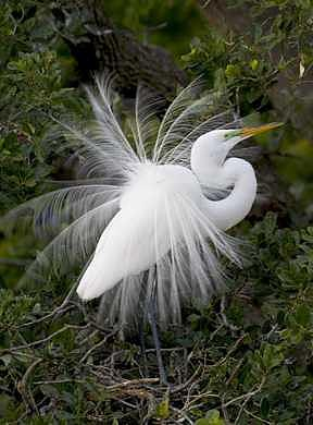 Great Egret  Photograph by Celeste  Steele