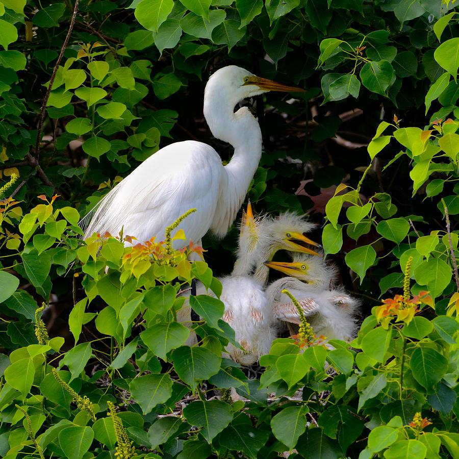 Bird Photograph - Great Egret Family by Lindy Pollard