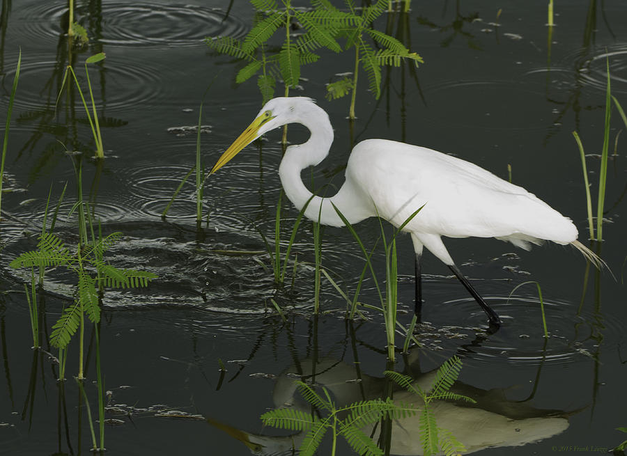 Birds Of Florida Photograph - Great Egret by Francis Liuzzi