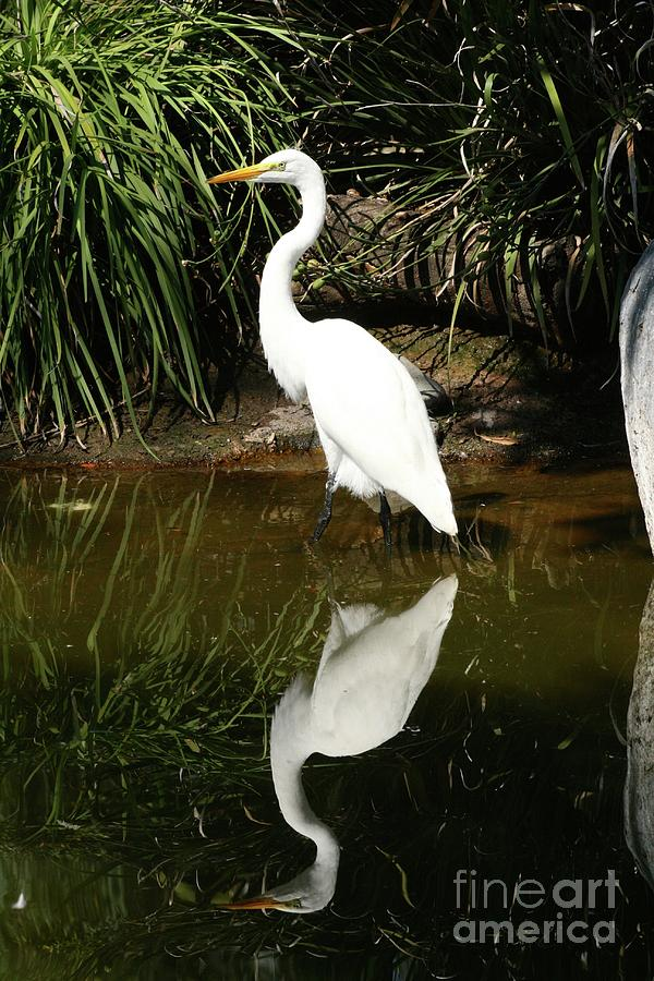 Great Egret Photograph - Great Egret  by Gregory E Dean