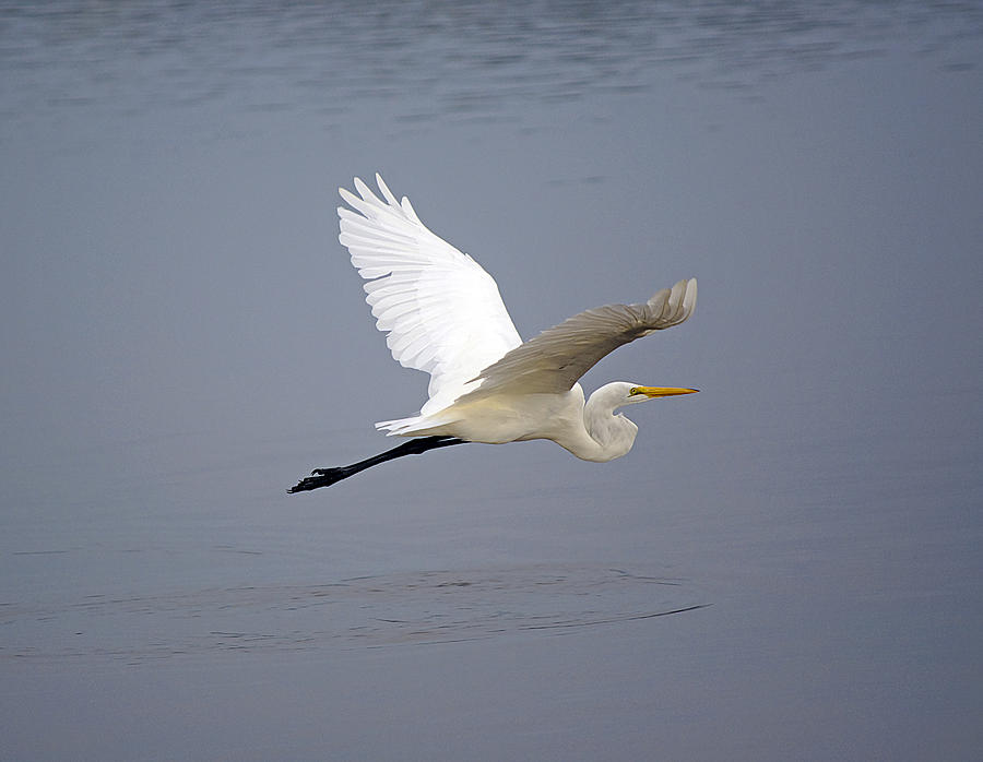 Egret Photograph - Great Egret In Flight by Kenneth Albin