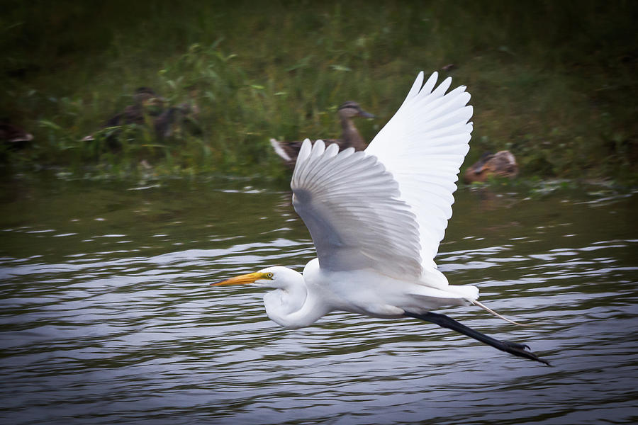Great Egret in Flight by Kenneth F Konjevich