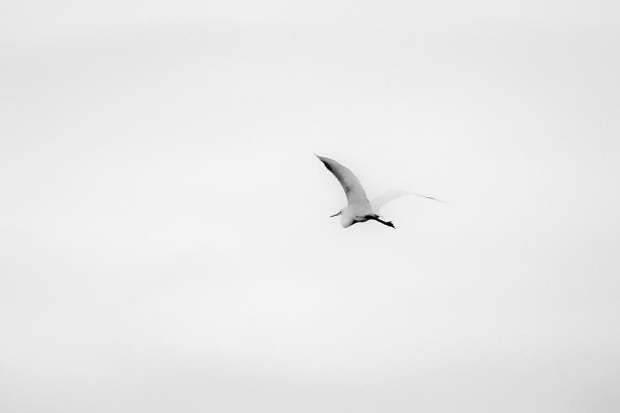 2015 Photograph - Great Egret In Flight by Nathaniel Kidd