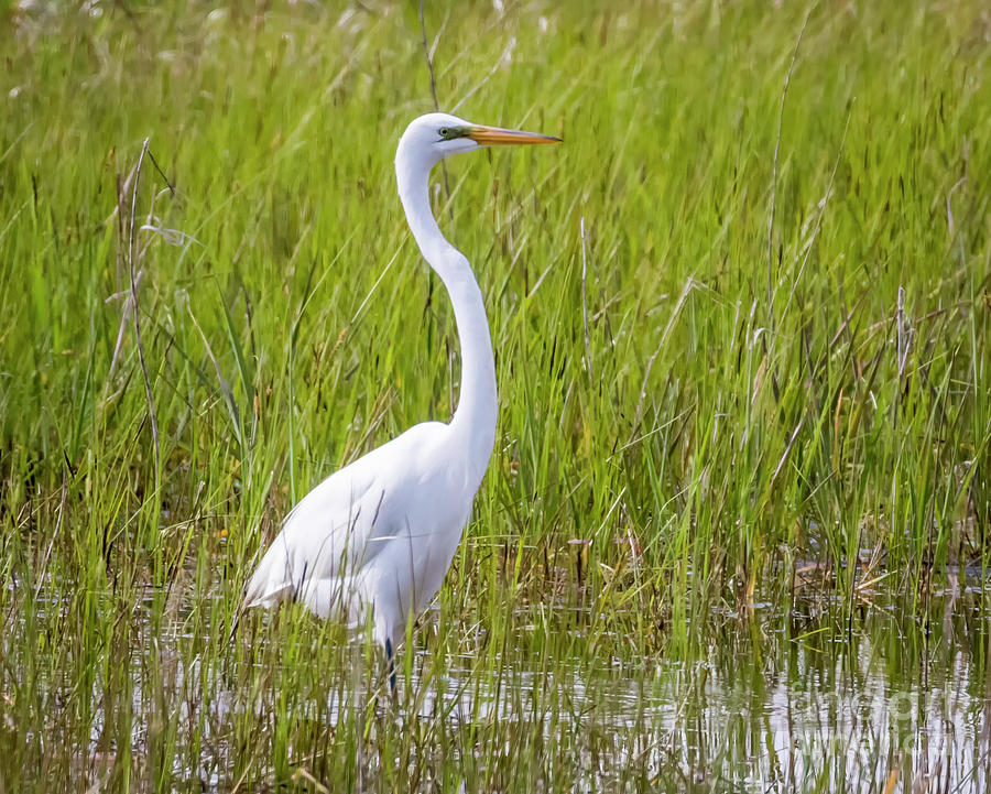 Canon Photograph - Great Egret In The Spring  by Ricky L Jones