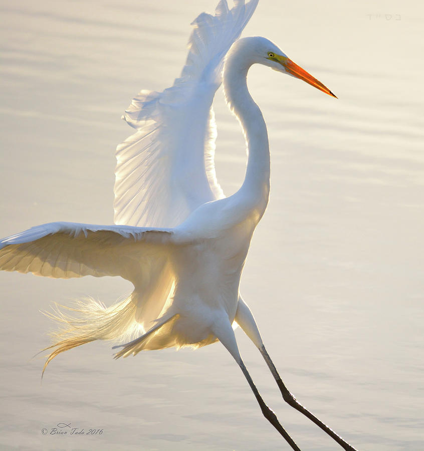 Great Egret Landing Photograph By Brian Tada