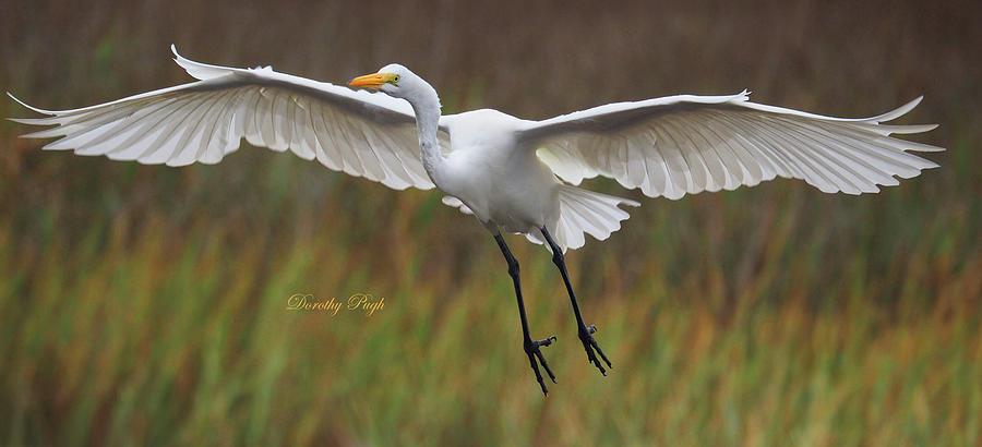 Great Egret Landing by Dorothy Pugh