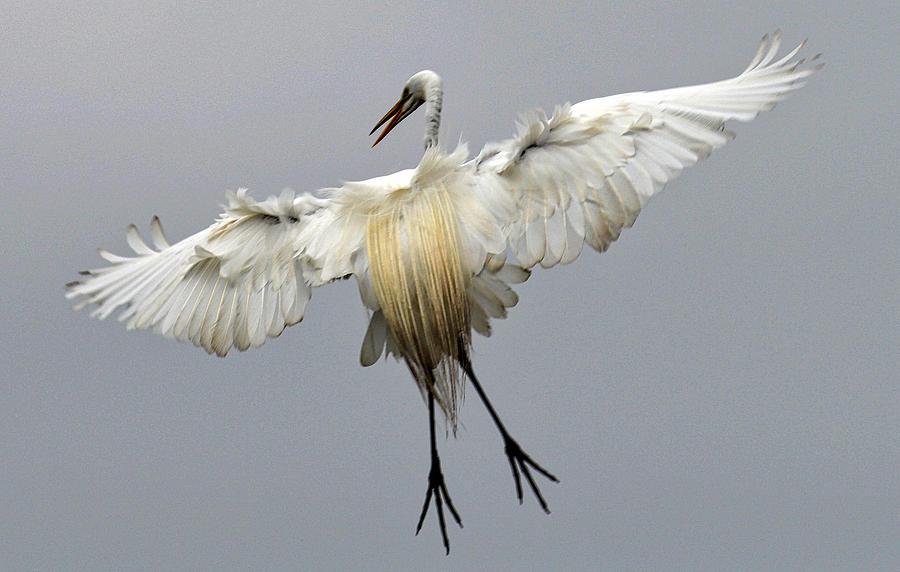 Bird Photograph - Great Egret Landing by Lindy Pollard