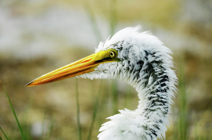 Egret Photograph - Great Egret by Nate Heldman