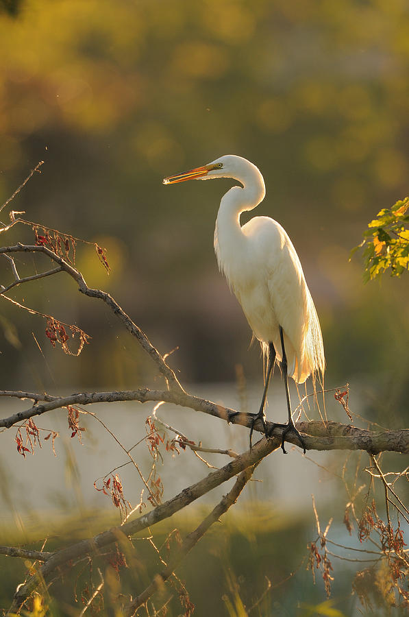 Bird Photograph - Great Egret by Philippe Francis