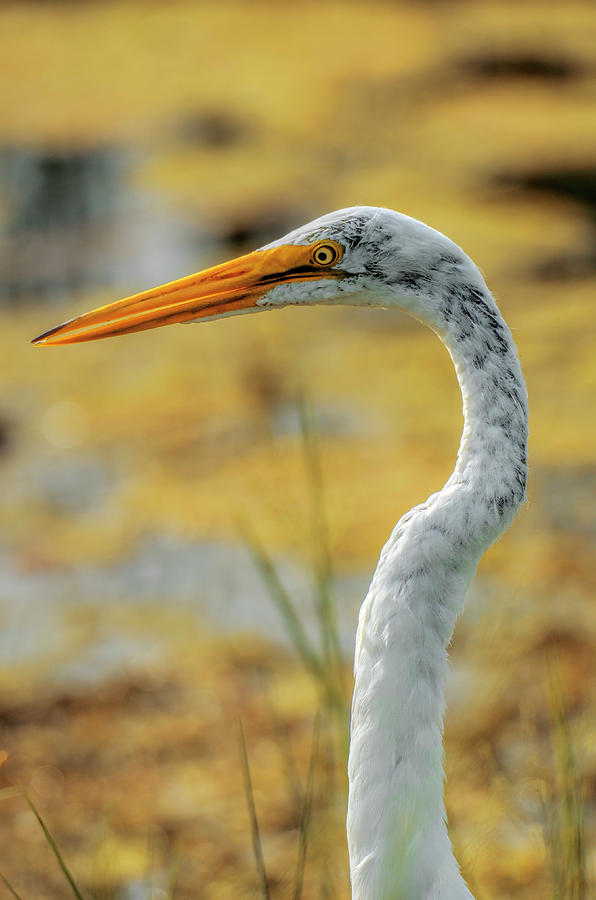 Florida Photograph - Great Egret Profile by Nate Heldman