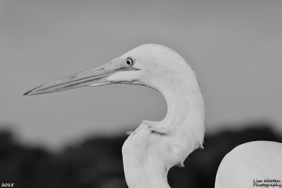 Black and white egret - photo#35