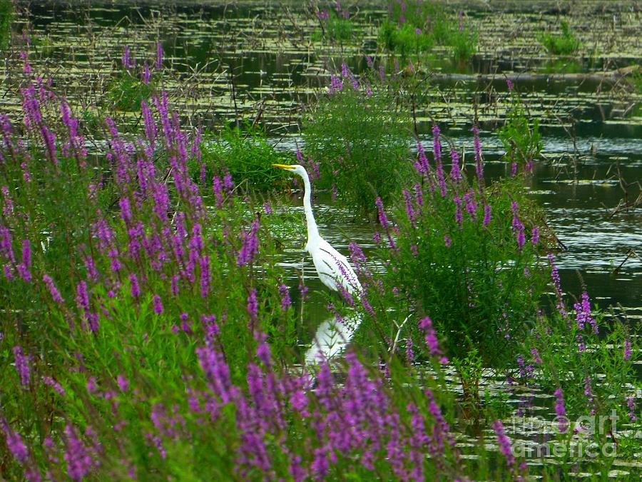 Great Egret - Purple by Donald C Morgan